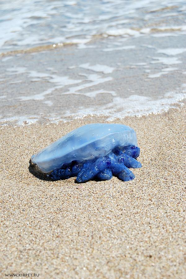 Синяя медуза