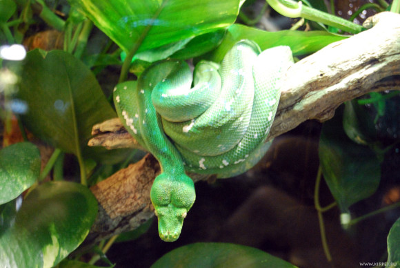 Зеленая змеюка